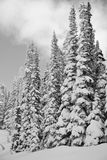 Snowy mountain landscape. Black and White snowy slope capped with tall pointy conifers pine and fir trees Stock Images