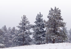 Snowy Mountain Pines on a Hillside Stock Image