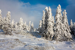 Snowy mountain spruces Royalty Free Stock Image