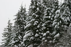 Snowy Mountain Trees in Mount Hood National Forest Royalty Free Stock Images