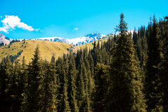 Snowy Mountains. Among the pine trees and fir trees royalty free stock photography