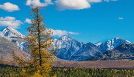 Snowy mountains. And golden autumn ain Altai royalty free stock photos
