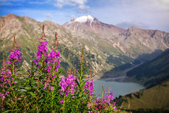 Snowy mountains and pink flowers Royalty Free Stock Images