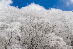 Snowy Mt. Mimata Branches, Blue Sky. A sunny day lights up snow-dressed trees on the slopes of Mt. Hossho in Aso-Kuju National Park in Japan Stock Photos