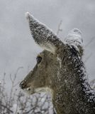 Snowy Mule Deer Portrait stock photography