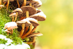 Snowy Mushrooms. Rare event of Mushrooms in the Snow in Bavarian November; macro picture with blurred light green and yellow background Stock Photos