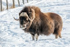Snowy Nose Muskox royalty free stock photos