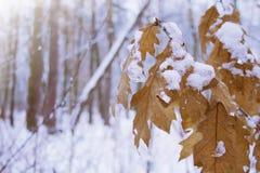 Snowy oak branch in winter snow forest landscape stock photo