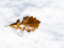 Snowy Oak Leaf Royalty Free Stock Photography