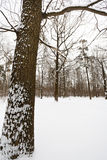 Snowy oak tree on the edge of forest Royalty Free Stock Image