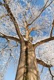 Snowy Oak Tree Stock Photo