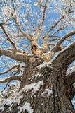 Snowy Oak Tree Stock Images