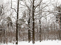 Snowy oaks and pine trees in winter forest Stock Photos