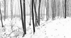Snowy old forest Stock Photography