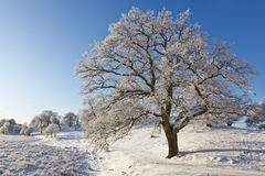 Snowy old Oak tree Royalty Free Stock Images