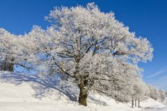 Snowy old Oak tree Royalty Free Stock Photography