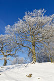 Snowy old Oak tree Stock Photo