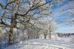Snowy old Oak tree Stock Photo
