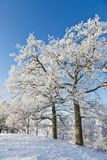 Snowy old Oak tree Royalty Free Stock Photos