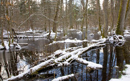 Snowy old swampy forest. Winter landscape of snowy old forest and water royalty free stock photo