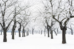Snowy orchard. Snow-covered orchard,horizontal view Royalty Free Stock Photos