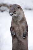 Snowy Otter Royalty Free Stock Image