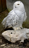 Snowy owl 1 Stock Photos