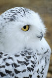 Snowy owl 1 Royalty Free Stock Photo