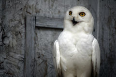 Snowy Owl. Closeup of a Snowy Owl against a blurred background Stock Photos