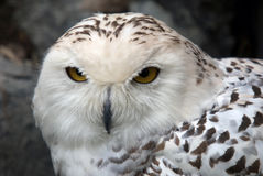Snowy Owl. Close up portrait of a beautiful snowy owl Stock Photo