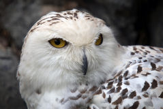 Snowy Owl. Close up portrait of a beautiful snowy owl Stock Photos