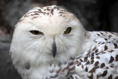 Snowy Owl. Close up portrait of a beautiful snowy owl Royalty Free Stock Images