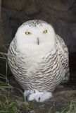 Snowy Owl. In a cave, staring out into the sun Royalty Free Stock Image