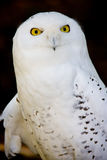 Snowy owl. Close up of a snowy owl Stock Photography