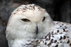 Snowy Owl. Close up portrait of a beautiful snowy owl Royalty Free Stock Image