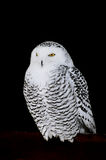 Snowy owl. (Nyctea Scandiaca) on black background Stock Image