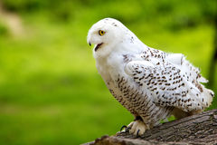 Snowy Owl. A young snowy owl ready for takeoff Royalty Free Stock Photography