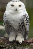 Snowy Owl. A photo of a snowy owl sitting on a log and staring at the camera Stock Images