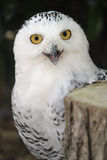 Snowy owl. A photograph of a snowy owl staring into the camera Royalty Free Stock Photography