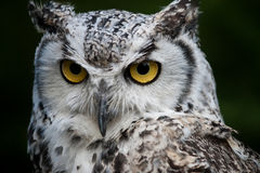 Snowy Owl. A closeup of a snowy owl Royalty Free Stock Photo