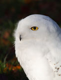 Snowy Owl. Portrait of a Snowy Owl. This large bird of prey is also know as Arctic Owl, Great White Owl or Harfang Royalty Free Stock Photography