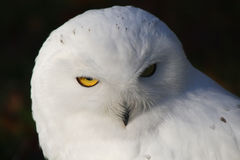Snowy Owl. Portrait of a Snowy Owl. This large bird of prey is also know as Arctic Owl, Great White Owl or Harfang Royalty Free Stock Image
