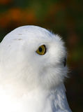 Snowy Owl. Portrait of a Snowy Owl. This large bird of prey is also know as Arctic Owl, Great White Owl or Harfang Stock Photography