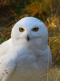 Snowy Owl. Portrait of a Snowy Owl - also know as Arctic Owl, Great White Owl or Harfang Royalty Free Stock Photography