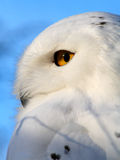 Snowy Owl. Portrait of a Snowy Owl - also know as Arctic Owl, Great White Owl or Harfang Stock Photo
