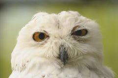 Snowy Owl Stock Photos