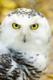 Snowy owl Royalty Free Stock Photo