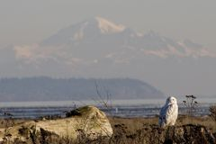 Snowy Owl. A snowy owl perches on a stump in the marsh of Boundary Bay, British Columbia, Canada, with Mount Baker in the background Royalty Free Stock Photography