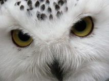 Snowy owl 2 Royalty Free Stock Photos