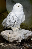 Snowy owl 2 Royalty Free Stock Images
